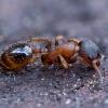 Skruzdėlė - Leptothorax acervorum | Fotografijos autorius : Žilvinas Pūtys | © Macrogamta.lt | Šis tinklapis priklauso bendruomenei kuri domisi makro fotografija ir fotografuoja gyvąjį makro pasaulį.