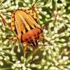 Skydblakė - Graphosoma semipunctatum | Fotografijos autorius : Vaida Paznekaitė | © Macrogamta.lt | Šis tinklapis priklauso bendruomenei kuri domisi makro fotografija ir fotografuoja gyvąjį makro pasaulį.