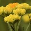Smėlyninis šlamutis - Helichrysum arenarium | Fotografijos autorius : Ramunė Vakarė | © Macrogamta.lt | Šis tinklapis priklauso bendruomenei kuri domisi makro fotografija ir fotografuoja gyvąjį makro pasaulį.