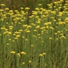 Smėlyninis šlamutis - Helichrysum arenarium   Fotografijos autorius : Ramunė Vakarė   © Macrogamta.lt   Šis tinklapis priklauso bendruomenei kuri domisi makro fotografija ir fotografuoja gyvąjį makro pasaulį.