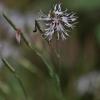 Smiltyninis gvazdikas - Dianthus arenarius | Fotografijos autorius : Kęstutis Obelevičius | © Macrogamta.lt | Šis tinklapis priklauso bendruomenei kuri domisi makro fotografija ir fotografuoja gyvąjį makro pasaulį.