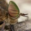 Sparva - Hybomitra lundbecki ♂ | Fotografijos autorius : Žilvinas Pūtys | © Macrogamta.lt | Šis tinklapis priklauso bendruomenei kuri domisi makro fotografija ir fotografuoja gyvąjį makro pasaulį.