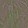 Stačioji dirsuolė - Bromopsis erecta | Fotografijos autorius : Kęstutis Obelevičius | © Macrogamta.lt | Šis tinklapis priklauso bendruomenei kuri domisi makro fotografija ir fotografuoja gyvąjį makro pasaulį.