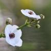 Strėlialapė papliauška - Sagittaria sagittifolia | Fotografijos autorius : Agnė Našlėnienė | © Macrogamta.lt | Šis tinklapis priklauso bendruomenei kuri domisi makro fotografija ir fotografuoja gyvąjį makro pasaulį.