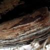 Tikroji pintis - Fomes fomentarius | Fotografijos autorius : Aleksandras Stabrauskas | © Macrogamta.lt | Šis tinklapis priklauso bendruomenei kuri domisi makro fotografija ir fotografuoja gyvąjį makro pasaulį.