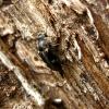 Dvidėmis dygliavabalis - Tomoxia bucephala | Fotografijos autorius : Vitalii Alekseev | © Macrogamta.lt | Šis tinklapis priklauso bendruomenei kuri domisi makro fotografija ir fotografuoja gyvąjį makro pasaulį.