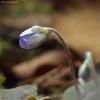 Triskiautė žibuoklė - Hepatica nobilis | Fotografijos autorius : Vidas Brazauskas | © Macrogamta.lt | Šis tinklapis priklauso bendruomenei kuri domisi makro fotografija ir fotografuoja gyvąjį makro pasaulį.