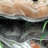Trispalvis vingurėlis - Daedaleopsis tricolor | Fotografijos autorius : Aleksandras Stabrauskas | © Macrogamta.lt | Šis tinklapis priklauso bendruomenei kuri domisi makro fotografija ir fotografuoja gyvąjį makro pasaulį.