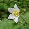 Uolinė gervuogė - Rubus deliciosus | Fotografijos autorius : Gintautas Steiblys | © Macrogamta.lt | Šis tinklapis priklauso bendruomenei kuri domisi makro fotografija ir fotografuoja gyvąjį makro pasaulį.