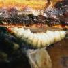 Vaškinis ugniukas - Galleria mellonella, vikšras | Fotografijos autorius : Romas Ferenca | © Macrogamta.lt | Šis tinklapis priklauso bendruomenei kuri domisi makro fotografija ir fotografuoja gyvąjį makro pasaulį.