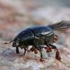 Krypūnėlis - Histeridae | Fotografijos autorius : Agnė Našlėnienė | © Macrogamta.lt | Šis tinklapis priklauso bendruomenei kuri domisi makro fotografija ir fotografuoja gyvąjį makro pasaulį.