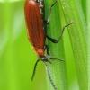 Šukaūsis raudonvabalis - Schizotus pectinicornis ♀ | Fotografijos autorius : Vidas Brazauskas | © Macrogamta.lt | Šis tinklapis priklauso bendruomenei kuri domisi makro fotografija ir fotografuoja gyvąjį makro pasaulį.