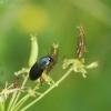Gauražygis - Ophonus laticollis | Fotografijos autorius : Vidas Brazauskas | © Macrogamta.lt | Šis tinklapis priklauso bendruomenei kuri domisi makro fotografija ir fotografuoja gyvąjį makro pasaulį.