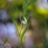 Vaistinė baltašaknė - Polygonatum odoratum | Fotografijos autorius : Vidas Brazauskas | © Macrogamta.lt | Šis tinklapis priklauso bendruomenei kuri domisi makro fotografija ir fotografuoja gyvąjį makro pasaulį.