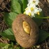 Valgomoji bulvė - Solanum tuberosum | Fotografijos autorius : Vytautas Tamutis | © Macrogamta.lt | Šis tinklapis priklauso bendruomenei kuri domisi makro fotografija ir fotografuoja gyvąjį makro pasaulį.