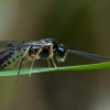 Vytis - Erromenus calcator ♀ | Fotografijos autorius : Žilvinas Pūtys | © Macrogamta.lt | Šis tinklapis priklauso bendruomenei kuri domisi makro fotografija ir fotografuoja gyvąjį makro pasaulį.