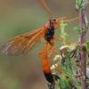 Vytis - Opheltes glaucopterus   Fotografijos autorius : Gintautas Steiblys   © Macrogamta.lt   Šis tinklapis priklauso bendruomenei kuri domisi makro fotografija ir fotografuoja gyvąjį makro pasaulį.