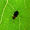 Drebulinis gūbrinukas - Zeugophora flavicollis (Marsham, 1802)   Fotografijos autorius : Vitalii Alekseev   © Macrogamta.lt   Šis tinklapis priklauso bendruomenei kuri domisi makro fotografija ir fotografuoja gyvąjį makro pasaulį.