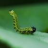 Tikrasis pjūklelis Tenthredinidae | Fotografijos autorius : Irenėjas Urbonavičius | © Macrogamta.lt | Šis tinklapis priklauso bendruomenei kuri domisi makro fotografija ir fotografuoja gyvąjį makro pasaulį.