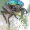 Paprastasis auksvabalis - Cetonia aurata   Fotografijos autorius : Gediminas Gražulevičius   © Macrogamta.lt   Šis tinklapis priklauso bendruomenei kuri domisi makro fotografija ir fotografuoja gyvąjį makro pasaulį.