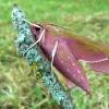 Deilephila elpenor - Pievinis sfinksas | Fotografijos autorius : Linas Mockus | © Macrogamta.lt | Šis tinklapis priklauso bendruomenei kuri domisi makro fotografija ir fotografuoja gyvąjį makro pasaulį.