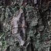 Tamsiajuostis žievėsprindis - Alcis repandata f. conversaria | Fotografijos autorius : Vytautas Gluoksnis | © Macrogamta.lt | Šis tinklapis priklauso bendruomenei kuri domisi makro fotografija ir fotografuoja gyvąjį makro pasaulį.