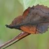 Ąžuolalapis verpikas - Gastropacha quercifolia   Fotografijos autorius : Gintautas Steiblys   © Macrogamta.lt   Šis tinklapis priklauso bendruomenei kuri domisi makro fotografija ir fotografuoja gyvąjį makro pasaulį.