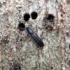 Ąžuolinis siauravabalis - Colydium filiforme | Fotografijos autorius : Vitalii Alekseev | © Macrogamta.lt | Šis tinklapis priklauso bendruomenei kuri domisi makro fotografija ir fotografuoja gyvąjį makro pasaulį.