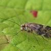 Šiengraužis - Metylophorus nebulosus | Fotografijos autorius : Gintautas Steiblys | © Macrogamta.lt | Šis tinklapis priklauso bendruomenei kuri domisi makro fotografija ir fotografuoja gyvąjį makro pasaulį.