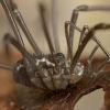 Šienpjovys - Paranemastoma superbum, juv.   Fotografijos autorius : Žilvinas Pūtys   © Macrogamta.lt   Šis tinklapis priklauso bendruomenei kuri domisi makro fotografija ir fotografuoja gyvąjį makro pasaulį.