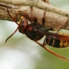 Širšuolas - Vespa crabro | Fotografijos autorius : Gintautas Steiblys | © Macrogamta.lt | Šis tinklapis priklauso bendruomenei kuri domisi makro fotografija ir fotografuoja gyvąjį makro pasaulį.