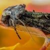 Žaliarudis vėlyvis - Allophyes oxyacanthae | Fotografijos autorius : Eglė Vičiuvienė | © Macrogamta.lt | Šis tinklapis priklauso bendruomenei kuri domisi makro fotografija ir fotografuoja gyvąjį makro pasaulį.