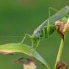 Žaliasis žiogas - Tettigonia viridissima | Fotografijos autorius : Romas Ferenca | © Macrogamta.lt | Šis tinklapis priklauso bendruomenei kuri domisi makro fotografija ir fotografuoja gyvąjį makro pasaulį.