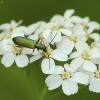 Žaliasis laibavabalis - Chrysanthia geniculata  | Fotografijos autorius : Vidas Brazauskas | © Macrogamta.lt | Šis tinklapis priklauso bendruomenei kuri domisi makro fotografija ir fotografuoja gyvąjį makro pasaulį.