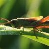 Žaliasis skėriukas - Omocestus viridulus   Fotografijos autorius : Ramunė Vakarė   © Macrogamta.lt   Šis tinklapis priklauso bendruomenei kuri domisi makro fotografija ir fotografuoja gyvąjį makro pasaulį.