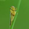 Žalioji cikadelė - Cicadella viridis   Fotografijos autorius : Vidas Brazauskas   © Macrogamta.lt   Šis tinklapis priklauso bendruomenei kuri domisi makro fotografija ir fotografuoja gyvąjį makro pasaulį.