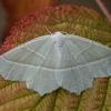 Žalsvasis sprindžius - Campaea margaritaria | Fotografijos autorius : Žilvinas Pūtys | © Macrogamta.lt | Šis tinklapis priklauso bendruomenei kuri domisi makro fotografija ir fotografuoja gyvąjį makro pasaulį.