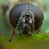 Žalutė - Cheilosia flavipes ♂ | Fotografijos autorius : Žilvinas Pūtys | © Macrogamta.lt | Šis tinklapis priklauso bendruomenei kuri domisi makro fotografija ir fotografuoja gyvąjį makro pasaulį.