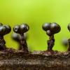 Žiedinis garbanūnas - Metatrichia floriformis | Fotografijos autorius : Žilvinas Pūtys | © Macrogamta.lt | Šis tinklapis priklauso bendruomenei kuri domisi makro fotografija ir fotografuoja gyvąjį makro pasaulį.