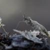 Žieminis uodas - Trichocera sp. | Fotografijos autorius : Romas Ferenca | © Macrogamta.lt | Šis tinklapis priklauso bendruomenei kuri domisi makro fotografija ir fotografuoja gyvąjį makro pasaulį.