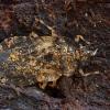 Žieviablakė - Aradus truncatus | Fotografijos autorius : Žilvinas Pūtys | © Macrogamta.lt | Šis tinklapis priklauso bendruomenei kuri domisi makro fotografija ir fotografuoja gyvąjį makro pasaulį.