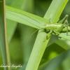 Žiogas Orthoptera   Fotografijos autorius : Aleksandras Naryškin   © Macrogamta.lt   Šis tinklapis priklauso bendruomenei kuri domisi makro fotografija ir fotografuoja gyvąjį makro pasaulį.