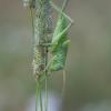 Žiogas giesmininkas - Tettigonia cantans ♀, nimfa | Fotografijos autorius : Žilvinas Pūtys | © Macrogamta.lt | Šis tinklapis priklauso bendruomenei kuri domisi makro fotografija ir fotografuoja gyvąjį makro pasaulį.