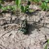 Žnyplinis laumžirgis - Onychogomphus forcipatus (patinas) | Fotografijos autorius : Agnė Kulpytė | © Macrogamta.lt | Šis tinklapis priklauso bendruomenei kuri domisi makro fotografija ir fotografuoja gyvąjį makro pasaulį.