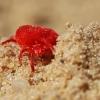 Aksominė erkė – Trombidium holosericeum   Fotografijos autorius : Agnė Našlėnienė   © Macrogamta.lt   Šis tinklapis priklauso bendruomenei kuri domisi makro fotografija ir fotografuoja gyvąjį makro pasaulį.