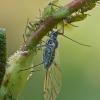 Amarai - Callipterinella tuberculata | Fotografijos autorius : Gintautas Steiblys | © Macrogamta.lt | Šis tinklapis priklauso bendruomenei kuri domisi makro fotografija ir fotografuoja gyvąjį makro pasaulį.