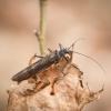 Ankstyvė - Taeniopterygidae | Fotografijos autorius : Saulius Drazdauskas | © Macrogamta.lt | Šis tinklapis priklauso bendruomenei kuri domisi makro fotografija ir fotografuoja gyvąjį makro pasaulį.