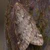 Ankstyvasis sprindžius - Alsophila aescularia   Fotografijos autorius : Žilvinas Pūtys   © Macrogamta.lt   Šis tinklapis priklauso bendruomenei kuri domisi makro fotografija ir fotografuoja gyvąjį makro pasaulį.
