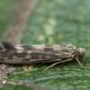 Apsiuva - Agraylea multipunctata ♀ | Fotografijos autorius : Žilvinas Pūtys | © Macrogamta.lt | Šis tinklapis priklauso bendruomenei kuri domisi makro fotografija ir fotografuoja gyvąjį makro pasaulį.