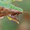 Apsiuva - Halesus digitatus ♂ | Fotografijos autorius : Gintautas Steiblys | © Macrogamta.lt | Šis tinklapis priklauso bendruomenei kuri domisi makro fotografija ir fotografuoja gyvąjį makro pasaulį.